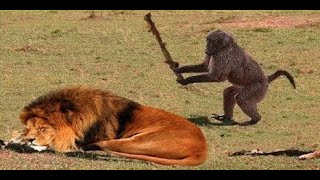 LIVE : Lion vs Leopard - Most Amazing Moments Of Wild Animal Fights - Wild Discovery Animals 2019