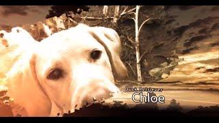 Duck Hunting:  Meet Chloe Labrador Retriever - Swift Waters