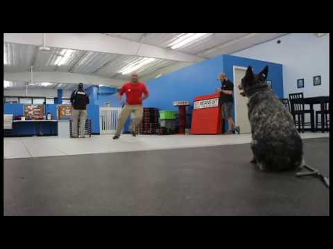 Australian Cattle Dog Learns To Be Obedient | www.SitMeansSitHouston.com