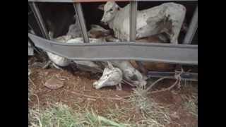 acidente caminhão carregado de boi BR 060