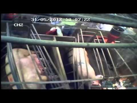Australian Pig Farming: The Inside Story - Longer edit