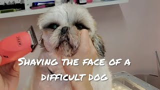 Cute Shihtzu | Don't touch my face!