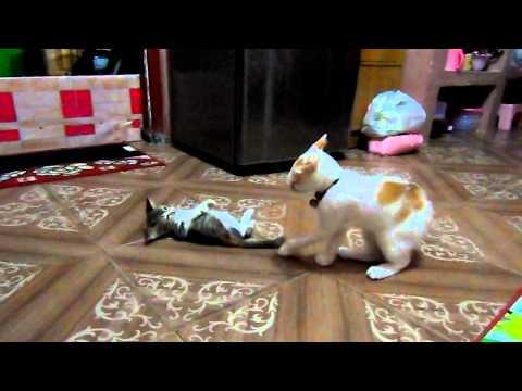 Kucing Persia Vs Kucing Kampung Part I Doovi