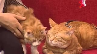 Курильские бобтейлы-кошки с характером