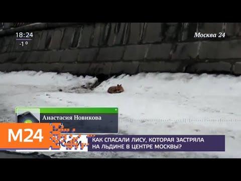 В Москве спасли лисицу, которая застряла на льдине в центре Москвы - Москва 24