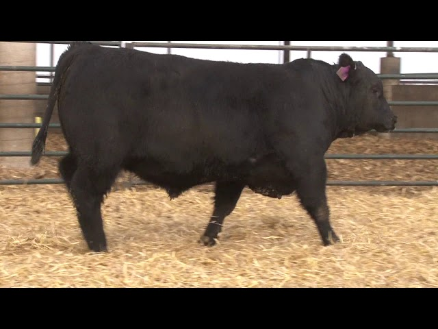 Schiefelbein Angus Farms Lot 48
