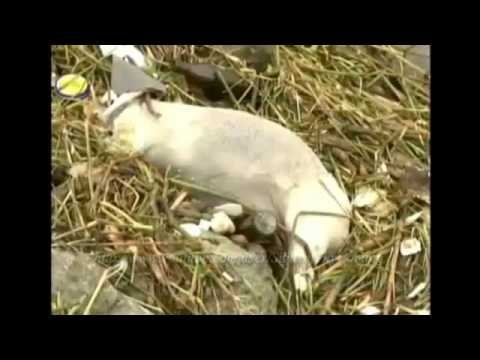 China : Over 900 Dead Pigs found Floating in the Shanghai River (Mar 10, 2013)
