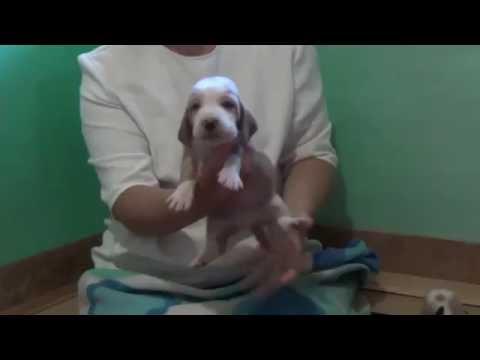 Puppies basset hound