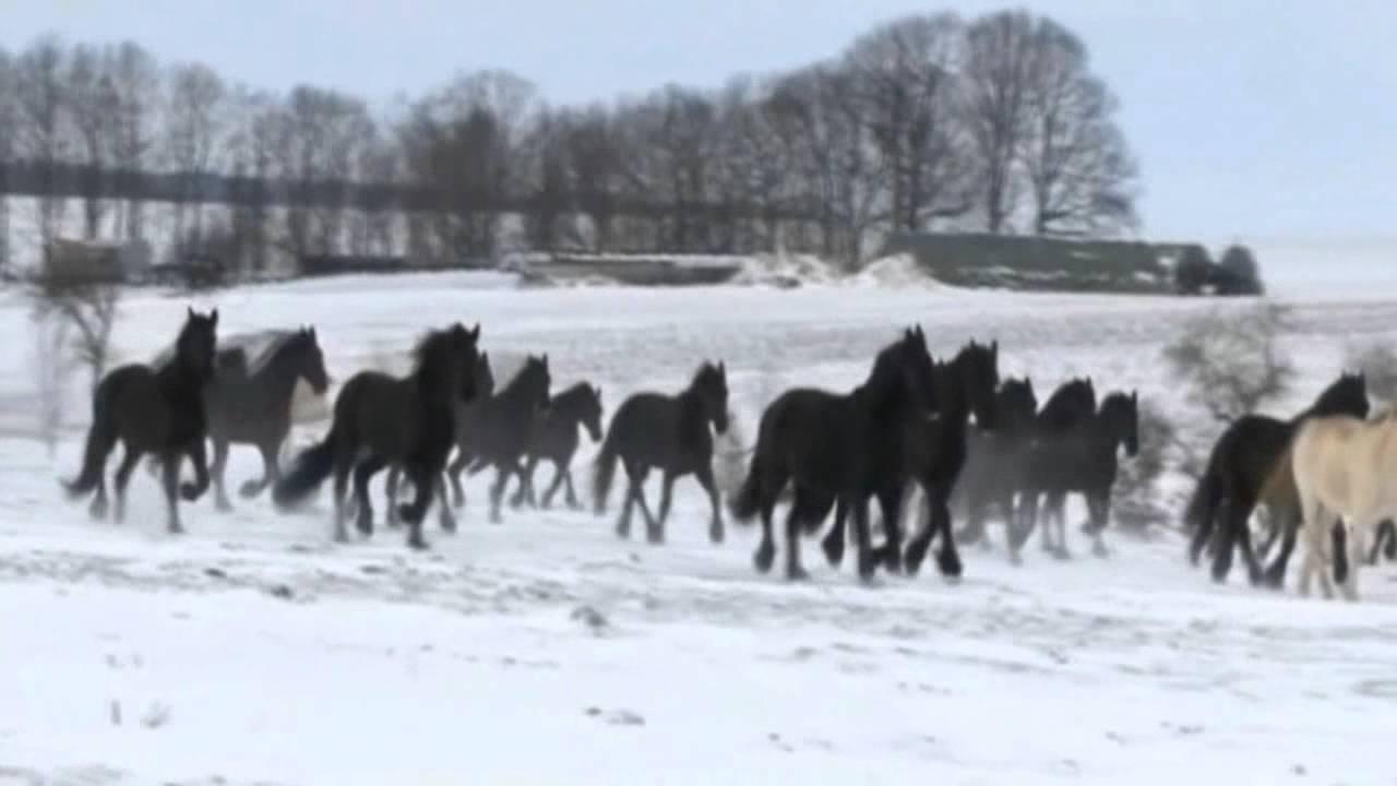 Friesen Herde - Winterimpressionen - 1 - YouTube   {Herde 25}