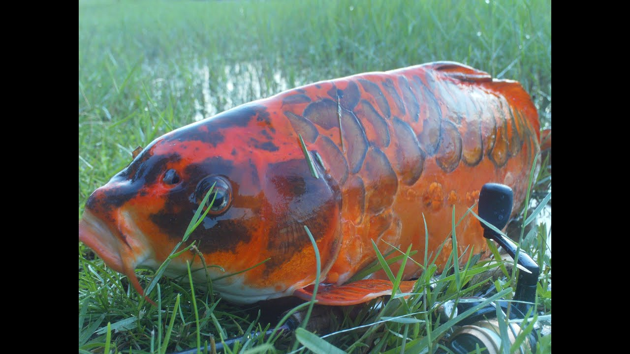 Youtube 39 s first mirror koi carp wild caught youtube for Giant coy fish