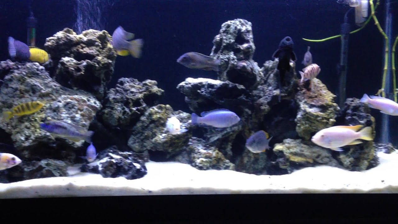 75 gallon mixed african cichlid tank   YouTube