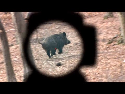 Best wild boar hunting videos in 2020 ( aimpoint )