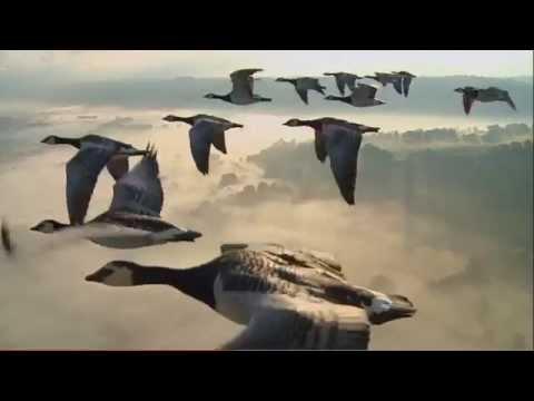 Как летят утки на юг