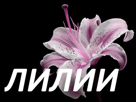 лилия  в саду, самые красивые лилии