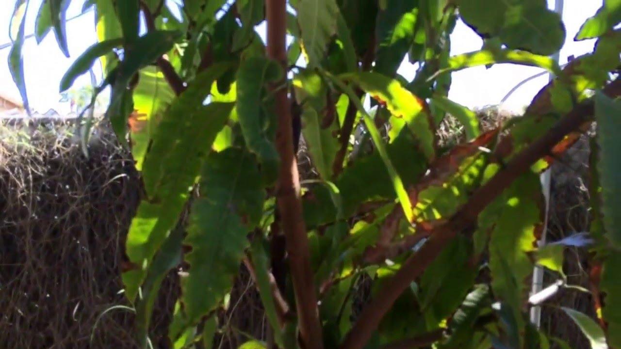 3 Year Old Mango Tree At Tropica Rare Fruit Nursery Www Tropicamango You