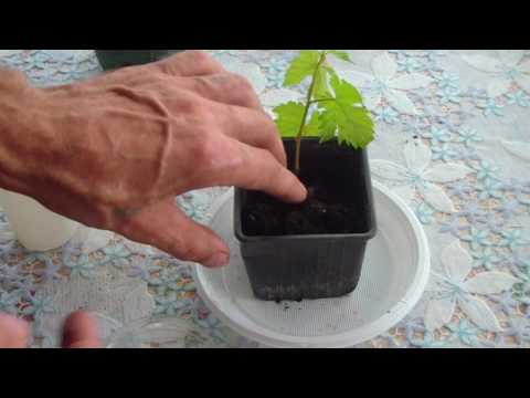 Как размножить виноград летом зелеными черенками видео