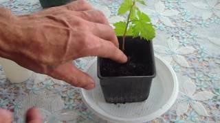 Размножение винограда зелеными черенками. 1