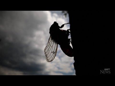 Billions of cicadas to emerge in 15 U.S. states