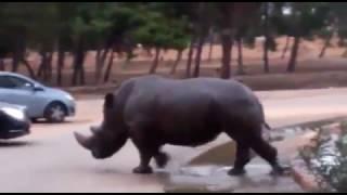 Tiere helfen sich  Nilpferd rettet Nashorn