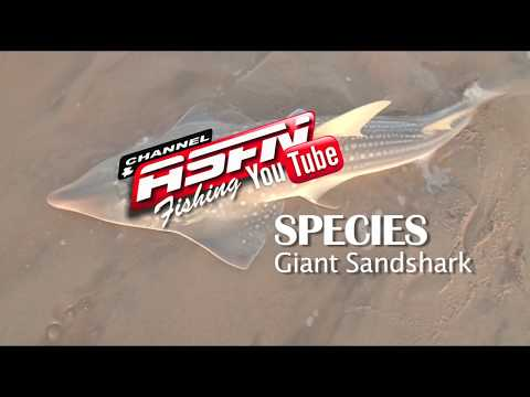 ASFN SPECIES - Giant Sand Sharks / Giant Guitar Fish