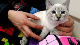 Как тайский котёнок Линда ехала в свой новый дом, где уютно устроилась! Тайские кошки   это чудо! Fu