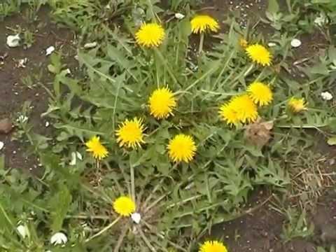 Лечебные свойства одуванчика, его листьев и корня