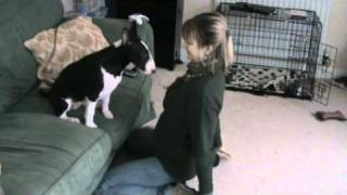 English Bull Terrier Funny Five Minutes 4 - 5 Months Old