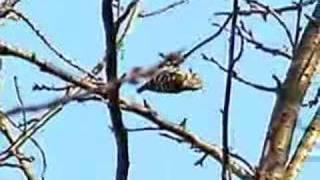 """2007.2~3、キツツキ科の野鳥、""""こげら""""が我が家の屋根にやってきて、TV..."""