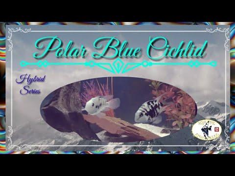 POLAR BLUE CICHLID / HYBRID