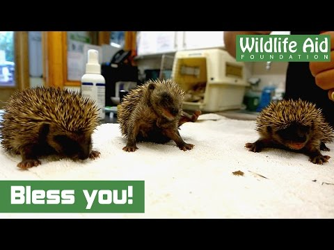 Thumbnail Bless you! Baby Hedgehog Sneezing!