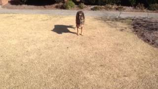 German Shepherd & German Shorthaired Pointer Playing