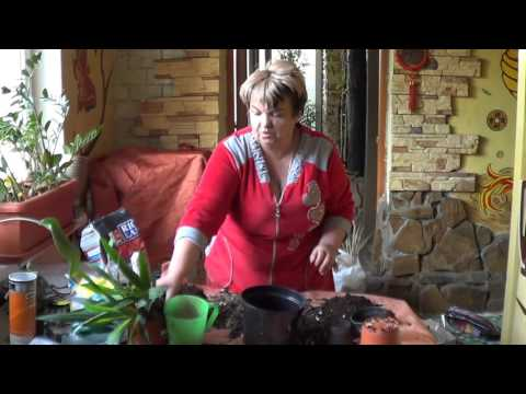 Домашняя юкка – уход в домашних условиях, фото юкки и виды