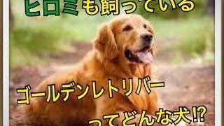 ペットで犬を飼おうと迷っている方へ〜ゴールデンレトリバー〜 世の中に...