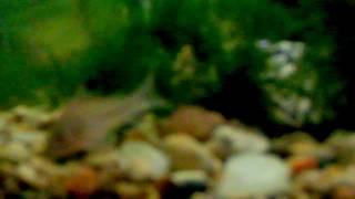 Cover images Corydoras julii