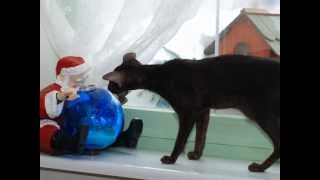 видео Сейшельськие кошки