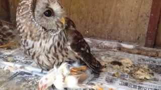 可愛いフクロウが空腹の為ヒヨコを襲う姿!!しかしなんと無く 癒しにも...