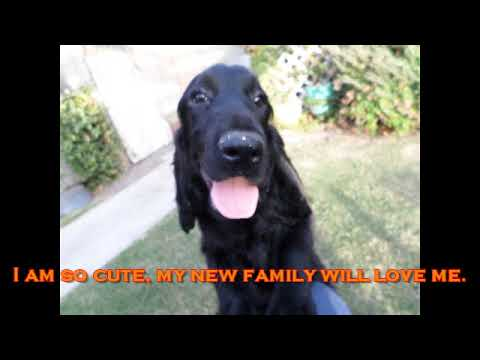 Harry the Field Spaniel Puppy