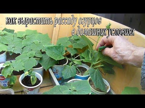 Как вырастить рассаду огурцов в домашних условиях.Наблюдение за ростом рассады огурцов