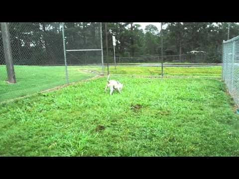 Pit bull for Adoption, Hall County, Ga Animal Shelter