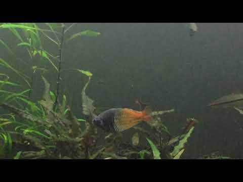 Boesemani Rainbows Breeding Behavior