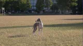 Italian Greyhound Grazing イタグレ ゾロ。 鳩のエサのパンクズを探し...