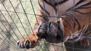 How to trim a tiger's nails