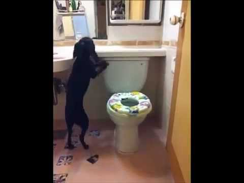 Dog Trained to Use Toilet -