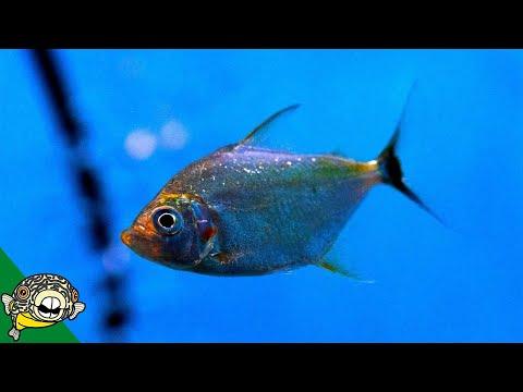 Rare Wimple Piranha -Store Tour - Aquarium Co-Op