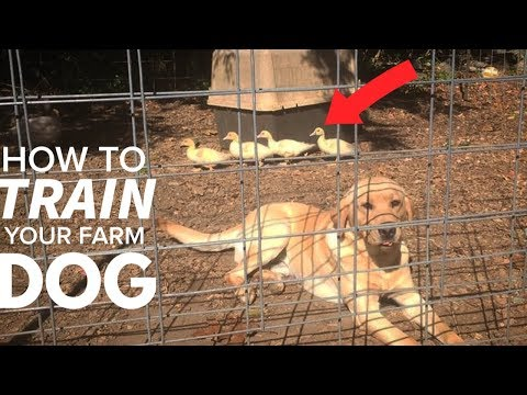 How Do You Train a Puppy to NOT KILL CHICKENS?