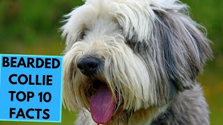 Bearded Collie  TOP 10 Interesting Facts