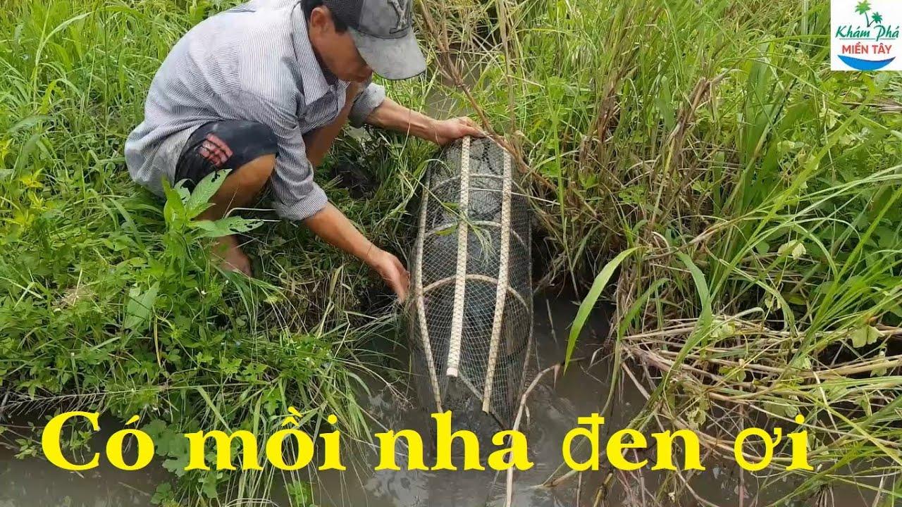 158 | Thăm lợp cá lóc ở ruộng lúa Fishing