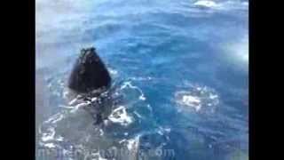 Family of Humpback Whales Breaching Arou...