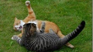 Война котов, дерущиеся коты. War cats Fighting cats.