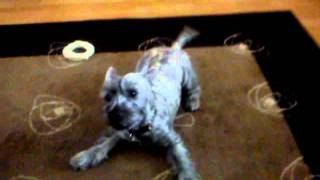 Cairn Terrier X Mac Going A Little Mad